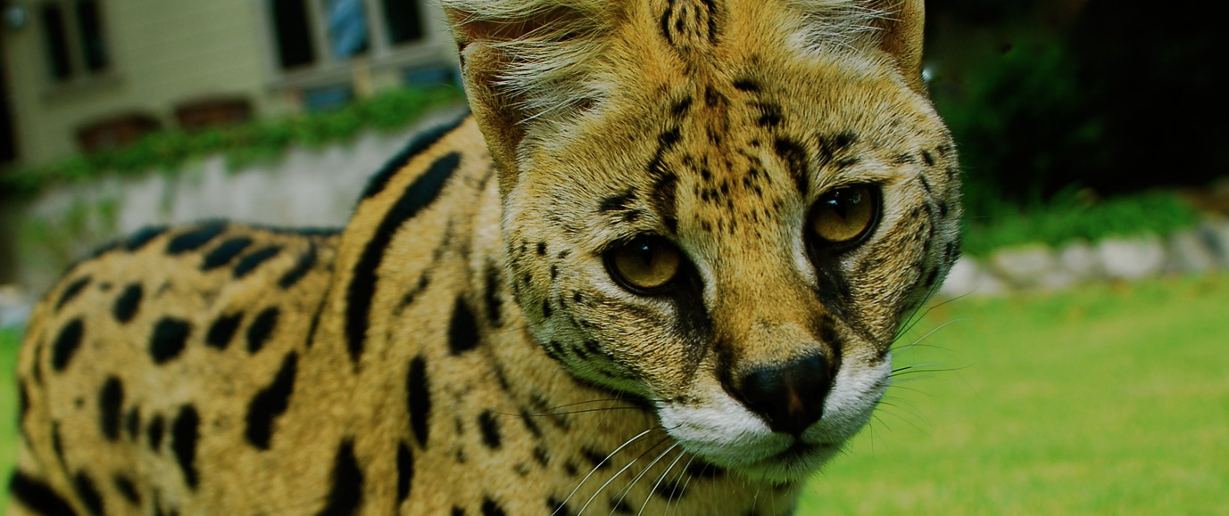 Wildlife Learning Center - Serval