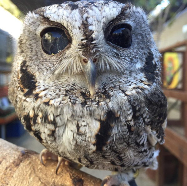 Zeus the blind owl